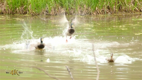 Male mallard duck fighting off intruder trying to mate with his female