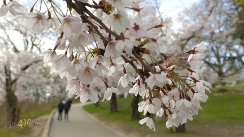 Cherry Blossom in 4K at the beautiful High Park in Toronto, Canada