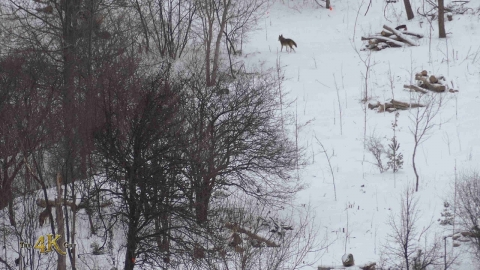 Three coyotes spotted in Toronto amidst city-wide lockdown