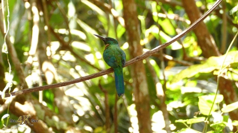 The great Jacamar of the Panamanian rainforests of Gamboa