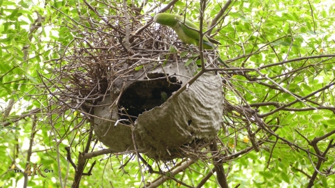 The extraordinary nest building skills of the Monk Parakeet in 4K
