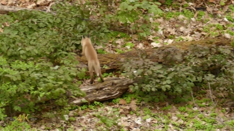 Cuteness Alert: Baby red foxes playing hide and seek together in...